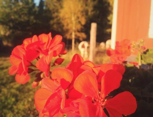 Pelargonierna blommar fortfarande för fullt hemma.
